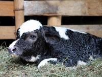 calf-bp