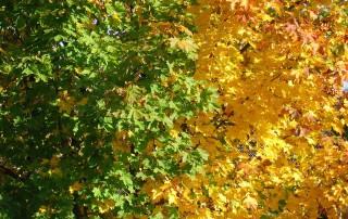 autumn-acer-bp