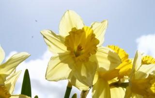 daffodil-1-1193617-639x426